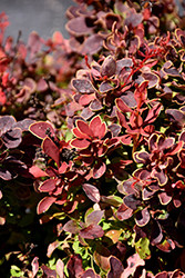 Golden Ruby Barberry (Berberis thunbergii 'Goruzam') at Squak Mountain Nursery
