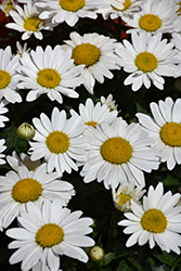 Snowcap Shasta Daisy (Leucanthemum x superbum 'Snowcap') at Squak Mountain Nursery