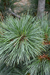 Silver Whispers Swiss Stone Pine (Pinus cembra 'Silver Whispers') at Squak Mountain Nursery