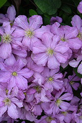 Comtesse de Bouchaud Clematis (Clematis 'Comtesse de Bouchaud') at Squak Mountain Nursery