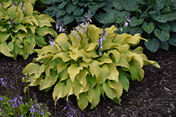 Sun Power Hosta (Hosta 'Sun Power') at Squak Mountain Nursery