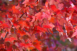 Autumn Radiance Red Maple (Acer rubrum 'Autumn Radiance') at Squak Mountain Nursery