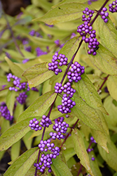 Early Amethyst Beautyberry (Callicarpa dichotoma 'Early Amethyst') at Squak Mountain Nursery