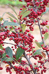 Brilliantissima Red Chokeberry (Aronia arbutifolia 'Brilliantissima') at Squak Mountain Nursery