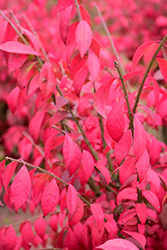 Cole's Compact Burning Bush (Euonymus alatus 'Cole's Compact') at Squak Mountain Nursery