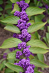 Purple Beautyberry (Callicarpa dichotoma) at Squak Mountain Nursery