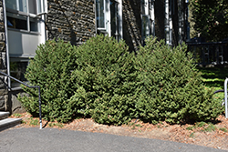 Green Mountain Boxwood (Buxus 'Green Mountain') at Squak Mountain Nursery