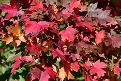 Redpointe Red Maple (Acer rubrum 'Redpointe') at Squak Mountain Nursery