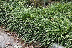 Big Blue Lily Turf (Liriope muscari 'Big Blue') at Squak Mountain Nursery