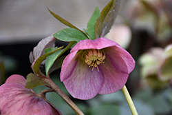 Mardi Gras Pink Hellebore (Helleborus 'Mardi Gras') at Squak Mountain Nursery