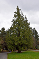 Western Arborvitae (Thuja plicata) at Squak Mountain Nursery