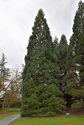 Giant Sequoia (Sequoiadendron giganteum) at Squak Mountain Nursery