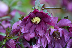 Berry Swirl Hellebore (Helleborus 'Berry Swirl') at Squak Mountain Nursery