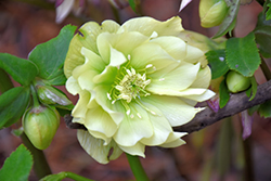 Golden Lotus Hellebore (Helleborus 'Golden Lotus') at Squak Mountain Nursery