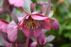 Penny's Pink Hellebore (Helleborus 'Penny's Pink') at Squak Mountain Nursery