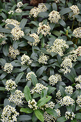 Dwarf Female Japanese Skimmia (Skimmia japonica 'Dwarf Female') at Squak Mountain Nursery