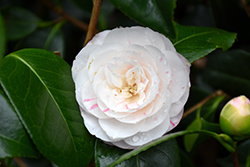 April Dawn Camellia (Camellia japonica 'April Dawn') at Squak Mountain Nursery