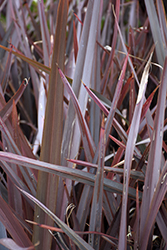 Amazing Red New Zealand Flax (Phormium 'Amazing Red') at Squak Mountain Nursery
