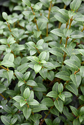 Burkwood Osmanthus (Osmanthus x burkwoodii) at Squak Mountain Nursery