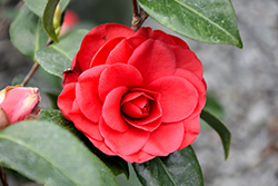 Tom Knudsen Camellia (Camellia japonica 'Tom Knudsen') at Squak Mountain Nursery