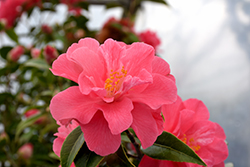 Coral Delight Camellia (Camellia 'Coral Delight') at Squak Mountain Nursery