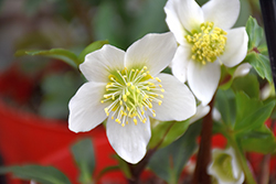 Gold Collection® Jacob Hellebore (Helleborus niger 'Jacob') at Squak Mountain Nursery