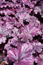Forever® Purple Coral Bells (Heuchera 'Forever Purple') at Squak Mountain Nursery