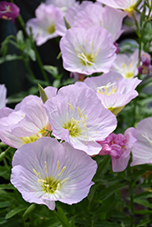 Siskiyou Mexican Evening Primrose (Oenothera berlandieri 'Siskiyou') at Squak Mountain Nursery