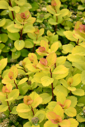Glow Girl® Birch Leaf Spirea (Spiraea betulifolia 'Tor Gold') at Squak Mountain Nursery
