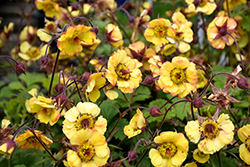 Tequila Sunrise Avens (Geum 'Tequila Sunrise') at Squak Mountain Nursery