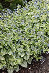Jack Frost Bugloss (Brunnera macrophylla 'Jack Frost') at Squak Mountain Nursery
