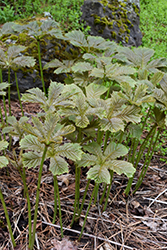 Chestnut Rodgersia (Rodgersia aesculifolia) at Squak Mountain Nursery
