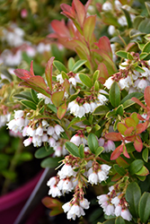 Koralle Lingonberry (Vaccinium vitis-idaea 'Koralle') at Squak Mountain Nursery