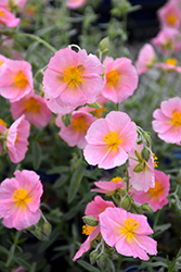 Wisley Pink Rock Rose (Helianthemum nummularium 'Wisley Pink') at Squak Mountain Nursery