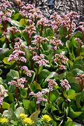 Pink Dragonfly Bergenia (Bergenia 'Pink Dragonfly') at Squak Mountain Nursery