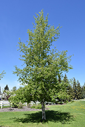 Trembling Aspen (Populus tremuloides) at Squak Mountain Nursery