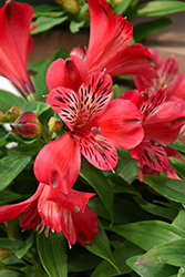 Inca Lolly™ Alstroemeria (Alstroemeria 'Koncalolly') at Squak Mountain Nursery