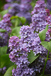President Lincoln Lilac (Syringa vulgaris 'President Lincoln') at Squak Mountain Nursery