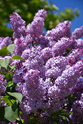 Common Lilac (Syringa vulgaris) at Squak Mountain Nursery