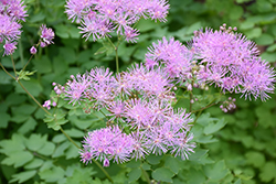 Meadow Rue (Thalictrum aquilegifolium) at Squak Mountain Nursery