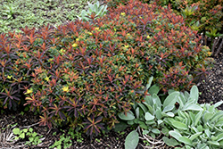 Bonfire Cushion Spurge (Euphorbia polychroma 'Bonfire') at Squak Mountain Nursery