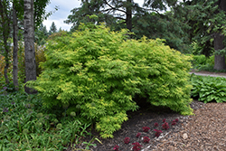 Sutherland Gold Elder (Sambucus racemosa 'Sutherland Gold') at Squak Mountain Nursery
