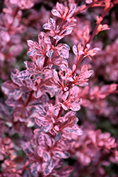 Rose Glow Japanese Barberry (Berberis thunbergii 'Rose Glow') at Squak Mountain Nursery