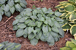 Fragrant Blue Hosta (Hosta 'Fragrant Blue') at Squak Mountain Nursery