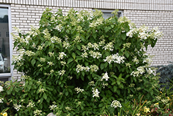 Great Star™ Hydrangea (Hydrangea paniculata 'Le Vasterival') at Squak Mountain Nursery