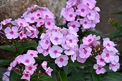 Cotton Candy™ Garden Phlox (Phlox paniculata 'Ditomfav') at Squak Mountain Nursery