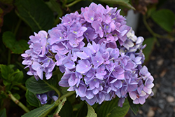 Cityline® Rio Hydrangea (Hydrangea macrophylla 'Ragra') at Squak Mountain Nursery