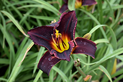 Salieri Daylily (Hemerocallis 'Salieri') at Squak Mountain Nursery