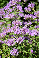 Blue Stocking Beebalm (Monarda didyma 'Blue Stocking') at Squak Mountain Nursery