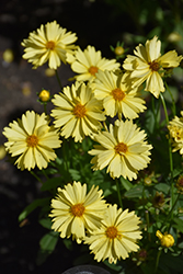Leading Lady Lauren Tickseed (Coreopsis 'Leading Lady Lauren') at Squak Mountain Nursery
